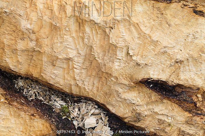 European beaver (Castor fiber) fresh bite marks on beech tree , Spessart, Germany, February.