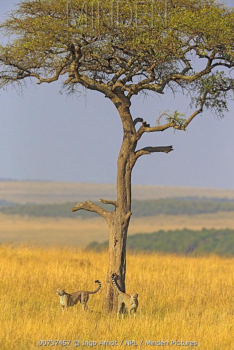 Cheetah (Acinonyx jubatus) two males scent marking acacia tree, Masai Mara National Reserve, Kenya