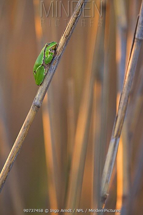 European tree frog (Hyla arborea) sitting on reed, Lake Neusiedl, Austria , April.