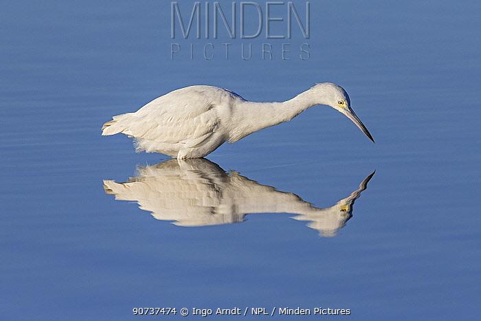 Snowy egret (Egretta thula) fishing, Sanibel Island, Florida, USA, January.