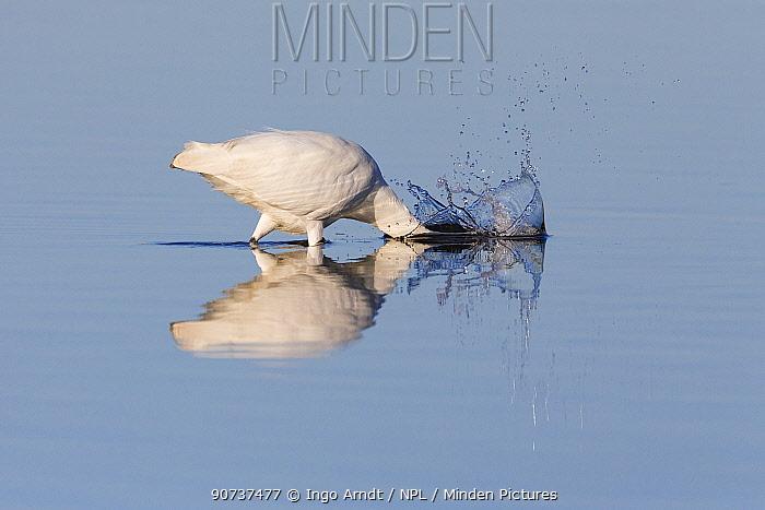 Great egret (Ardea alba) fishing, Sanibel Island, Florida, USA, January.