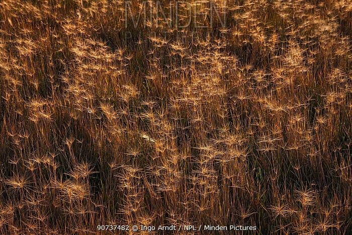 Squirretail grass (Elymus elymoides), Badlands National Park, South Dakota, USA September.