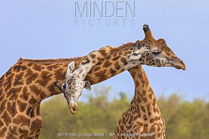 Masai giraffe (Giraffa camelopardalis tippelskirchi) males fighting, Masai Mara National Reserve, Kenya. Sequence 3 of 3