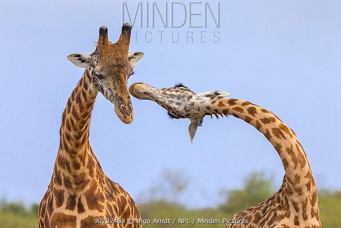 Masai giraffe (Giraffa camelopardalis tippelskirchi) males fighting, Masai Mara National Reserve, Kenya. Sequence 1 of 3