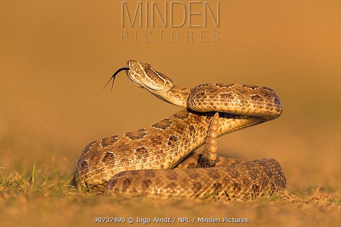 Prairie rattlesnake (Crotalus viridis viridis), threat display, South Dakota, USA September. Sequence 3 of 3
