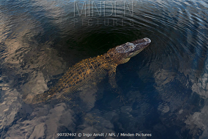American alligator (Alligator mississippiensis) with cloud reflections, Everglades, USA, January.