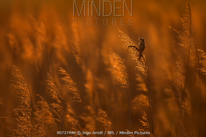 Sedge warbler (Acrocephalus schoenobaenus) singing in reedbed at sunset, Lake Neusiedl, Austria , April.