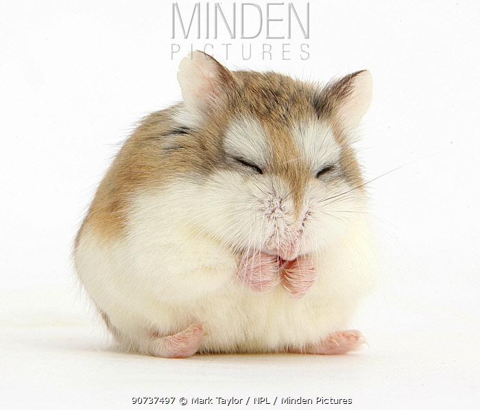 Roborovski Hamster (Phodopus roborovskii) asleep sitting up, against white background