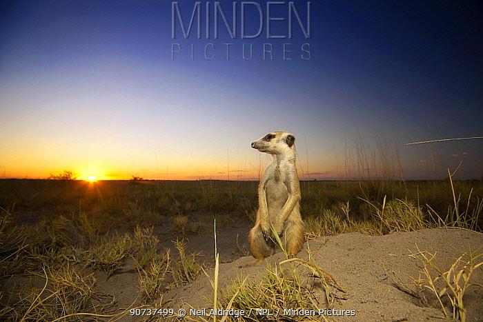 Meerkat (Suricata suricatta) keeps watch at the entrance to a burrow as the sun sets over the Kalahari, Botswana, April.
