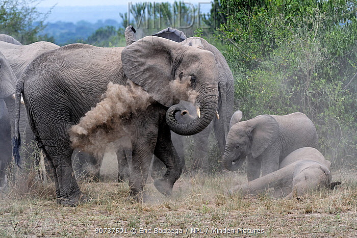 African elephant herd taking a dust bath (Loxodonta africana) Queen Elizabeth National Park, Uganda, Africa;African elephant group taking a dust bath (Loxodonta africana) Queen Elizabeth National Park, Uganda