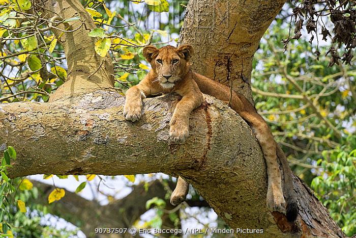 Tree climbing lion resting in fig tree, Ishasha sector (Panthera leo) Queen Elizabeth National Park, Uganda, Africa