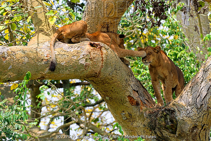 Tree climbing lion, female and cub, playing in fig tree, Ishasha sector (Panthera leo) Queen Elizabeth National Park, Uganda, Africa