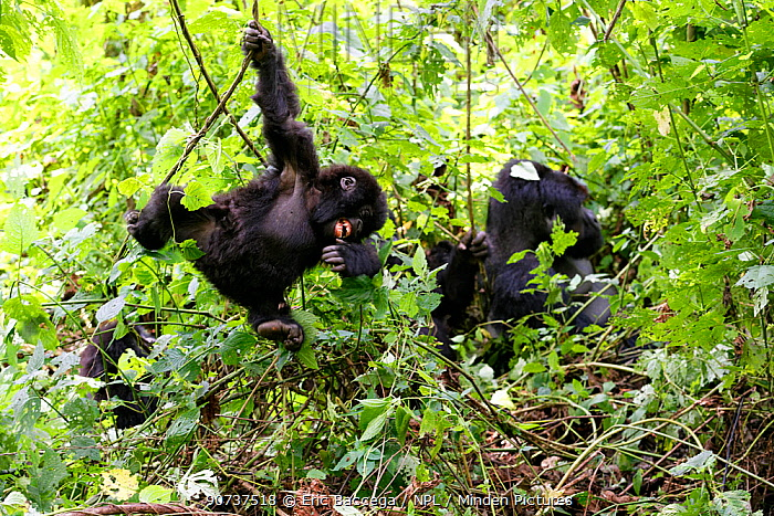 Young Mountain gorilla swinging on liana and smiling in forest (Gorilla beringei beringei) Virunga National Park, Democratic Republic of Congo, Africa. Sequence 1 of 5