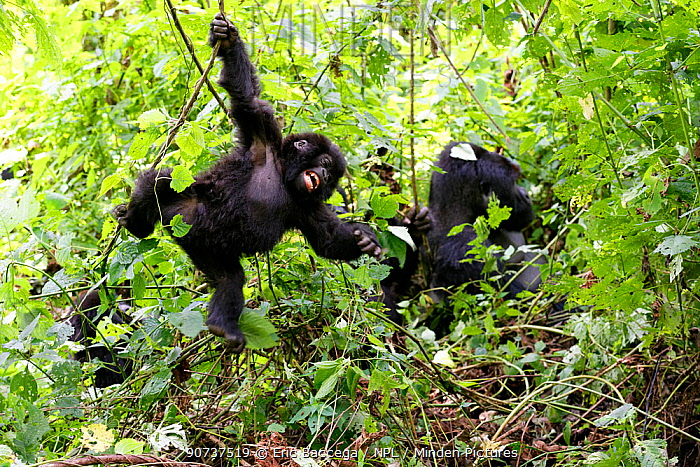 Young Mountain gorilla swinging on liana and smiling in forest (Gorilla beringei beringei) Virunga National Park, Democratic Republic of Congo, Africa. Sequence 2 of 5