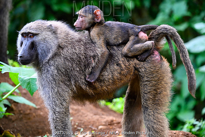 Olive baboon mother carrying young on back (Papio cynocephalus anubis) Virunga National Park, North Kivu, Democratic Republic of Congo, Africa