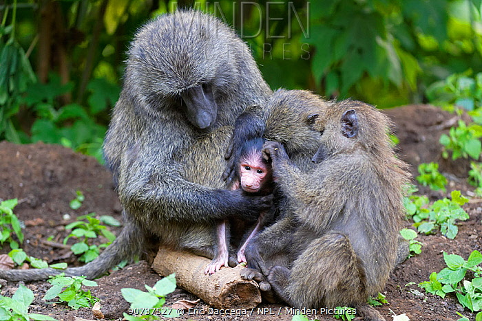 Olive baboon group of juvenile and a mother grooming (Papio cynocephalus anubis) Virunga National Park, North Kivu, Democratic Republic of Congo, Africa