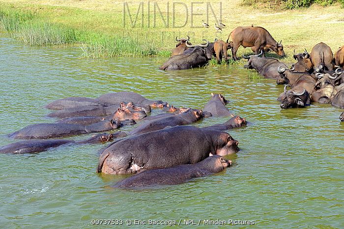 Hippopotamus group (Hippopotamus amphibius) and Cape buffalo (Syncerus caffer) bathing in lake Edward, Queen Elizabeth National Park, Uganda, Africa