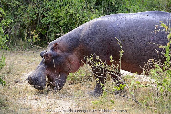 Hippopotamus grazing (Hippopotamus amphibius) Queen Elizabeth National Park, Uganda, Africa