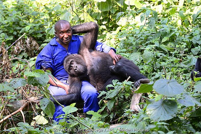 Andr Bauma, keeper playing with juvenile orphan Mountain gorilla (Gorilla beringei beringei) Senkwekwe orphanage center, Rumangabo. Virunga National Park, Democratic Republic of Congo, Africa