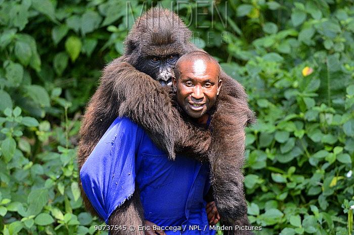 Andr Bauma, keeper carrying a female juvenile Mountain gorilla (Gorilla beringei beringei) Senkwekwe orphanage center, Rumangabo. Virunga National Park, Democratic Republic of Congo, Africa