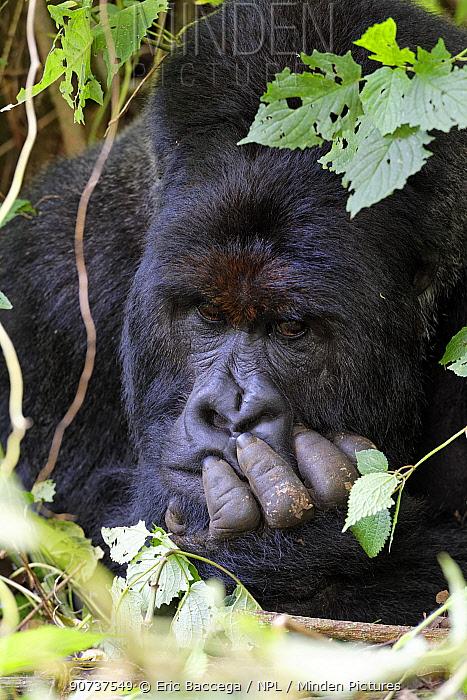 Head portrait of male silverback Mountain gorilla lying on forest ground (Gorilla beringei beringei) Virunga National Park, Democratic Republic of Congo, Africa;Head portrait of male silverback Mountain gorilla lying in forest (Gorilla beringei beringei) Virunga National Park, Democratic Republic of Congo, Africa