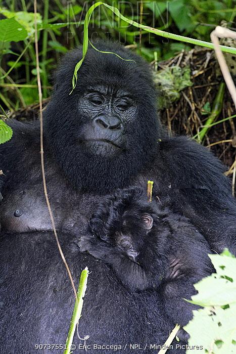 Female Mountain gorilla feeding with her one month old baby sleeping on her (Gorilla beringei beringei) Virunga National Park, Democratic Republic of Congo, Africa