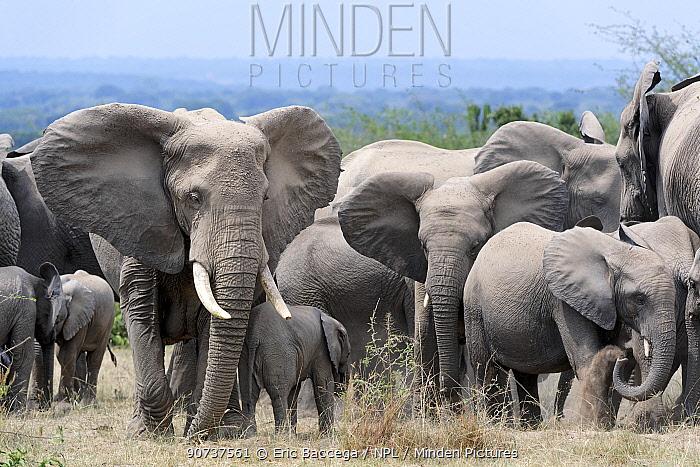 African elephant herd with calves (Loxodonta africana) Queen Elizabeth National Park, Uganda, Africa