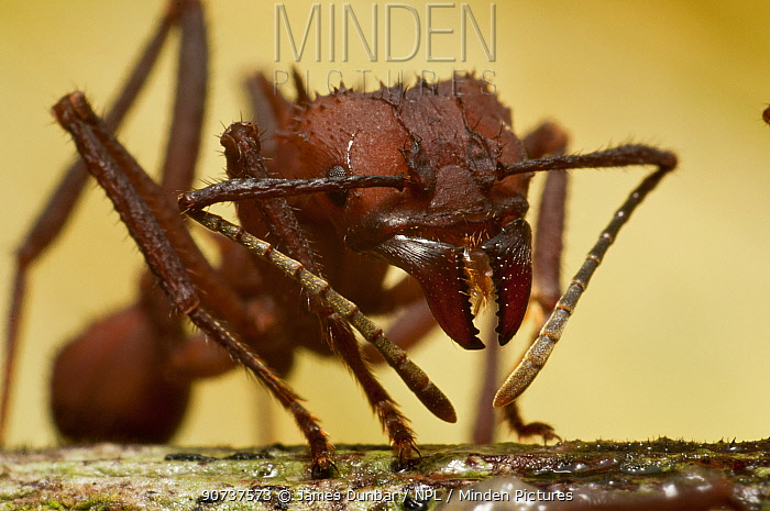 Leaf cutter ant (Atta sp.) Guadeloupe National Park, Guadeloupe, Leeward Islands.