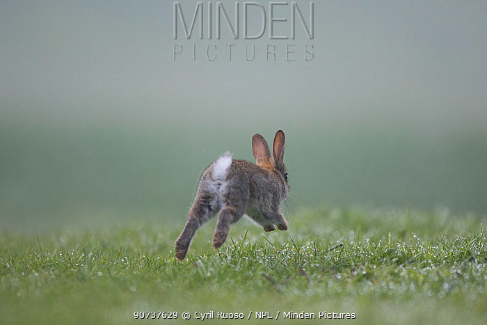 Rabbit (Oryctolagus cuniculus) rear view of  juvenile running, Burgundy, France.