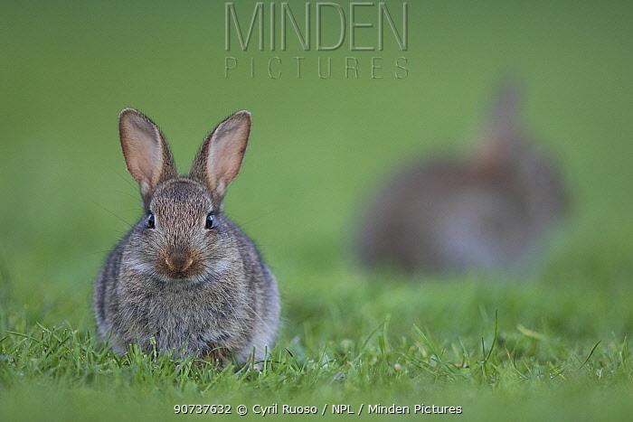Rabbit (Oryctolagus cuniculus) juvenile Burgundy, France.