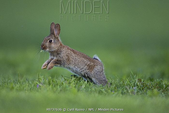 Rabbit (Oryctolagus cuniculus) juvenile running, Burgundy, France.