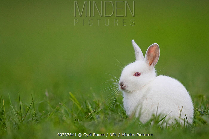Rabbit (Oryctolagus cuniculus) juvenile albino,  Burgundy, France.