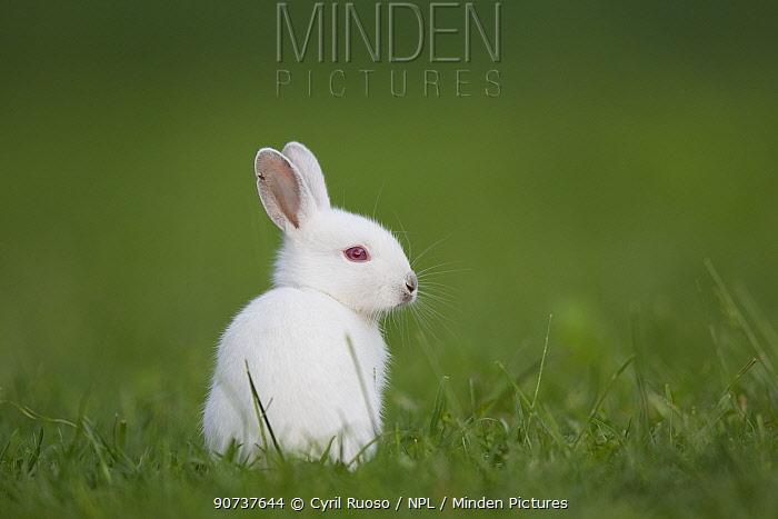 Rabbit (Oryctolagus cuniculus) juvenile albino, Burgundy, France. May.