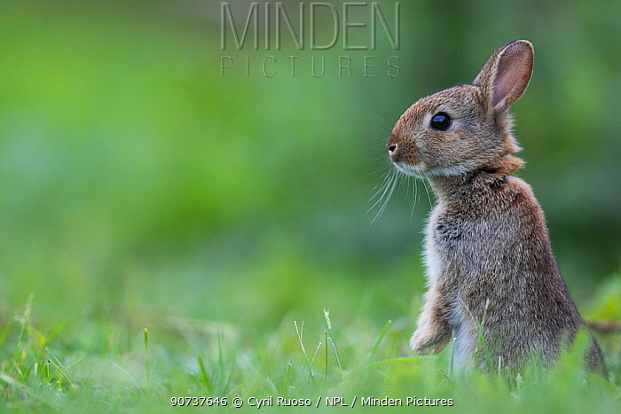 Rabbit (Oryctolagus cuniculus) juvenile standing on hind legs, Burgundy, France. May.