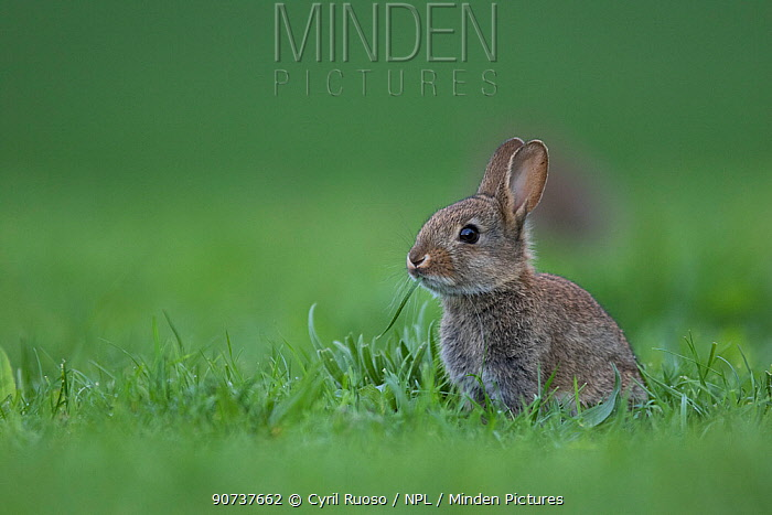 Rabbit (Oryctolagus cuniculus) juvenile Burgundy, France.                                                                                    Lapin de garenne  (Oryctolagus cuniculus) juvnile       Yonne FRANCE