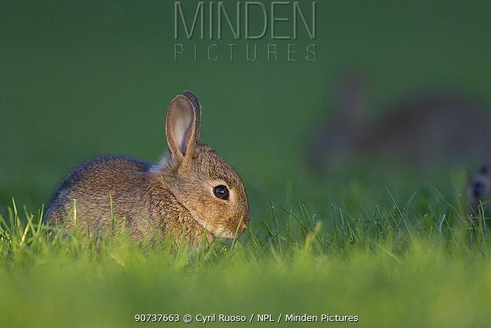 Rabbit (Oryctolagus cuniculus) juvenile, Burgundy, France.