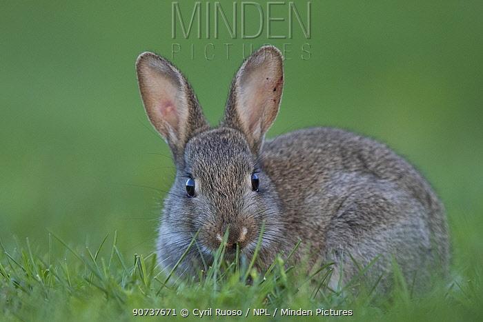 Rabbit (Oryctolagus cuniculus) juvenile grazing, Burgundy, France.
