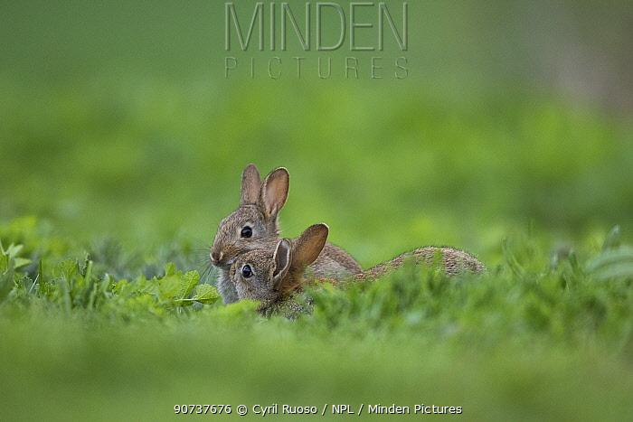 Rabbit (Oryctolagus cuniculus) juveniles Burgundy, France.