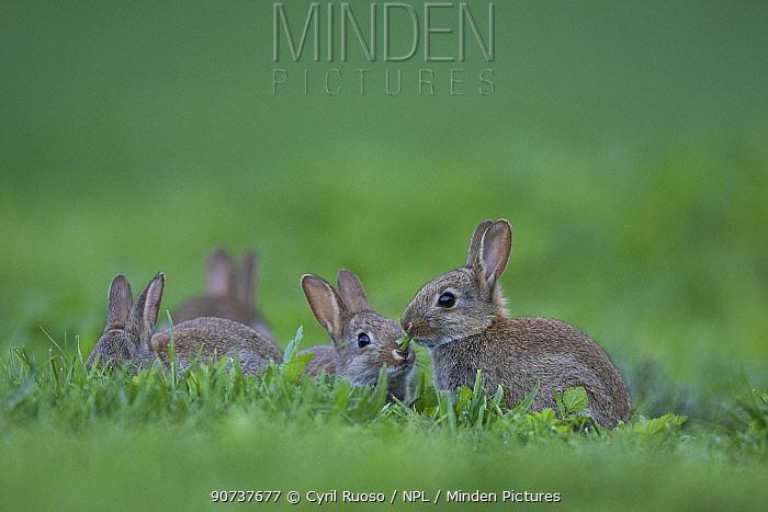 Rabbit (Oryctolagus cuniculus) juveniles, Burgundy, France.