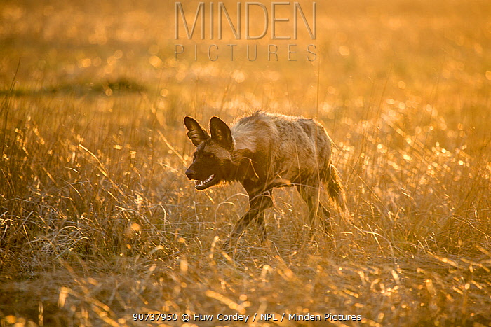 African hunting dog (Lycaon pictus) stalking in long grass. Liuwa Plains National Park, Zambia.