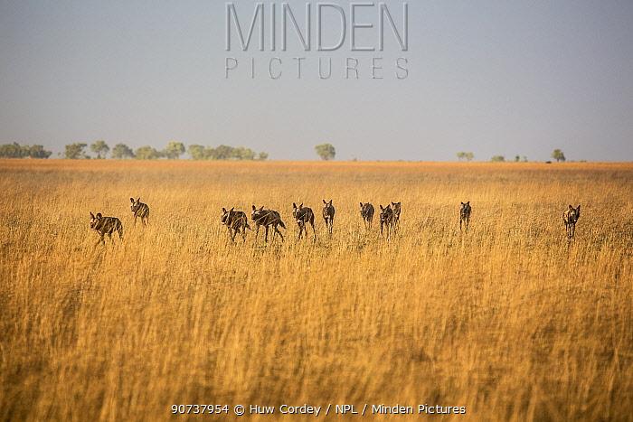 African hunting dogs (Lycaon pictus) sub adults playing. playing. Liuwa Plains National Park, Zambia.