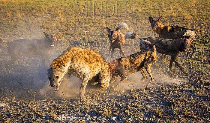 Wild dogs (Lycaon pictus), harassing spotted hyena (Crocuta crocuta), Liuwa Plains National Park, Zambia.