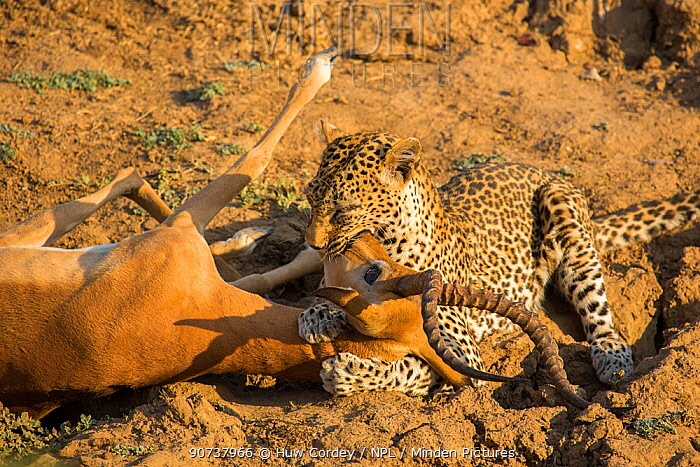 Leopard (Panthera pardus) female suffocating a male Impala (Aepyceros melampus) after ambushing it in a gully. South Luangwa National Park, Zambia.