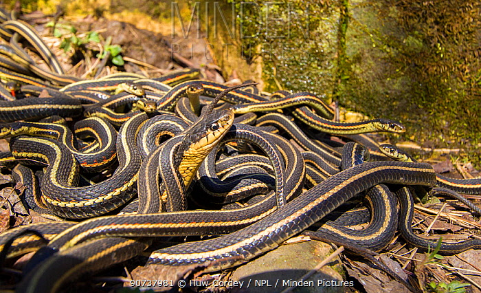 Red-side garter snakes (Thamnophis sirtalis parietalis) outside hibernation dens, Narcisse snake dens, Manitoba, Canada. The snake in the foreground is a female . She is surrounded by the smaller males. The dens are home to over 50,000 garter snakes, making it the greatest concentration of snakes on the planet. June