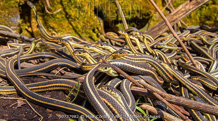 Red-side garter snakes (Thamnophis sirtalis parietalis) outside their hibernation dens, Narcisse snake dens, Manitoba, Canada. These are males on the lookout for females. The dens are home to over 50,000 garter snakes making it the greatest concentration of snakes on the planet. June