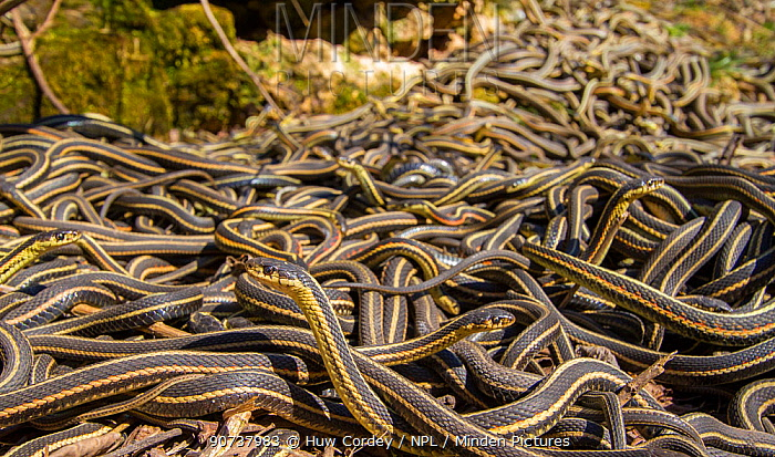 Red-side garter snakes (Thamnophis sirtalis parietalis) following their emergence from hibernation, Narcisse snake dens, Manitoba, Canada. These are mostly males who mass outside the dens waiting for the emergence of females. The dens are home to over 50,000 garter snakes, making the greatest concentration of snakes on the planet. June
