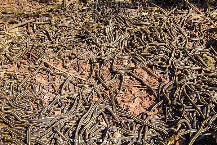 Red-side garter snakes (Thamnophis sirtalis parietalis) following their emergence from hibernation. Narcisse snake dens, Manitoba, Canada. The dens are home to over 50,000 garter snakes making it the greatest concentration of snakes on the planet. June