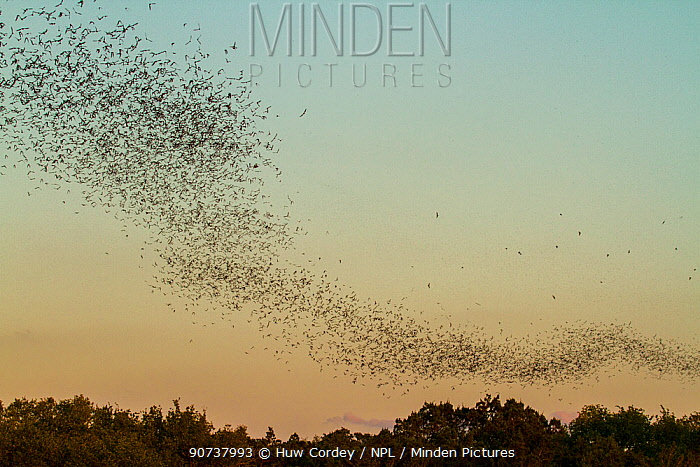 Mexican free-tailed bats, (Tadarida brasiliensis), leaving Bracken Cave, Texas. Bracken Cave is the summertime home of over 15 milions bats, making it the largest colony of bats in the world and one of the greatest concentrations of mammals on the planet. August 2011