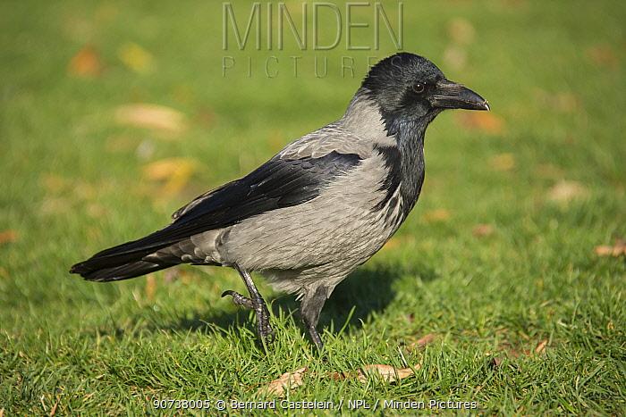 Hooded crow (Corvus cornix) Berlin, Germany November