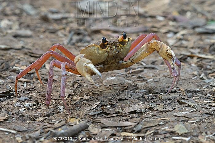 Madagascan land crab (Madagapotamon humberti), Ankarana National Park, Madagascar, Red List IUCN